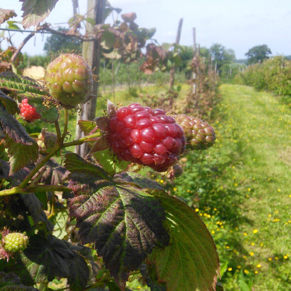 Pick your own Raspberries