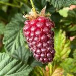 Maynards Fruit Farm