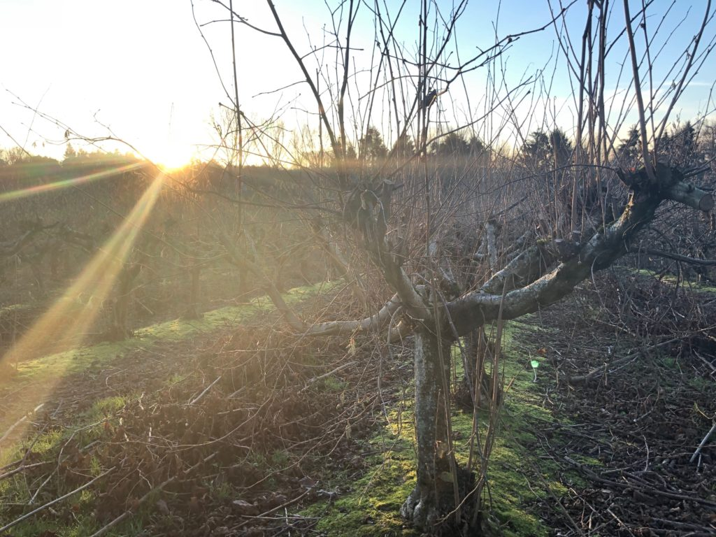 Winter Sun on Apple Trees