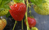 A photo of strawberries ready to be picked on the farm