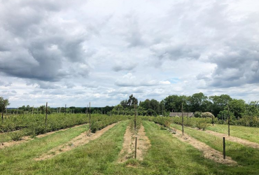 Cloudy day, with rows of raspberries at Maynard's fruit Farm