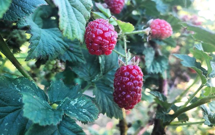 Tayberries growing at Maynard's Fruit Farm in Ticehurst, East Sussex