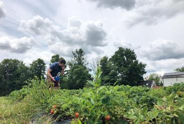 Man picking strawberries at Maynard's Fruit Farm