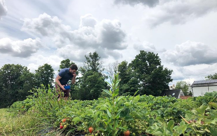Man picking strawberries at Maynard's Fruit Farm