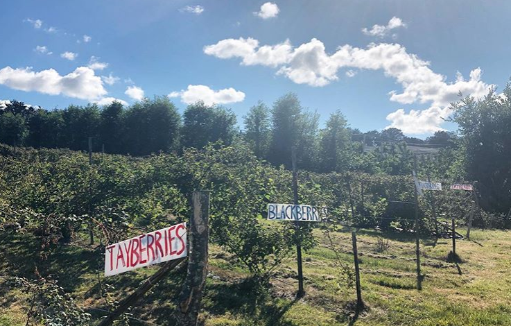 Row of fruit with fruit signs for tayberries, raspberries and blackcurrants at Maynard's Fruit Farm in Ticehurt, East Sussex