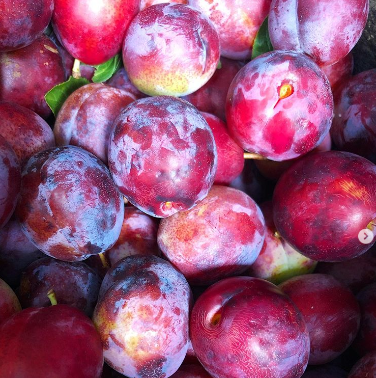 A close-up of lancelot plums at Maynard's Fruit Farm in Ticehurst, East Sussex